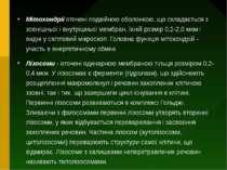 Мітохондрії оточені подвійною оболонкою, що складається з зовнішньої і внутрі...