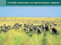 Стада антилоп на просторах савани