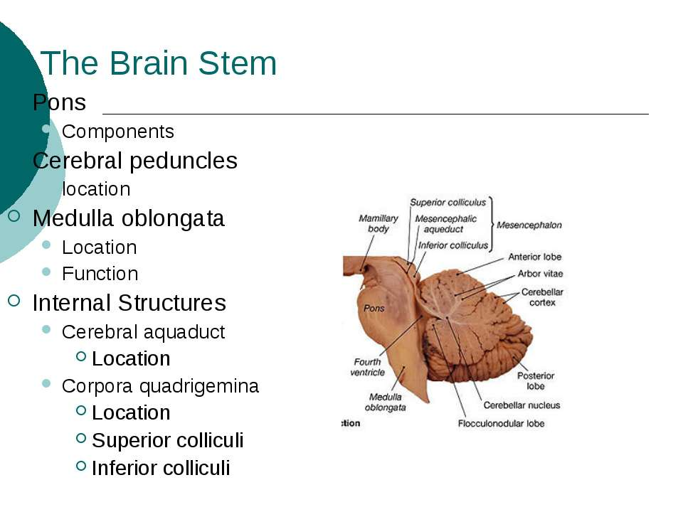 The Brain Stem Pons Components Cerebral peduncles location Medulla oblongata ...