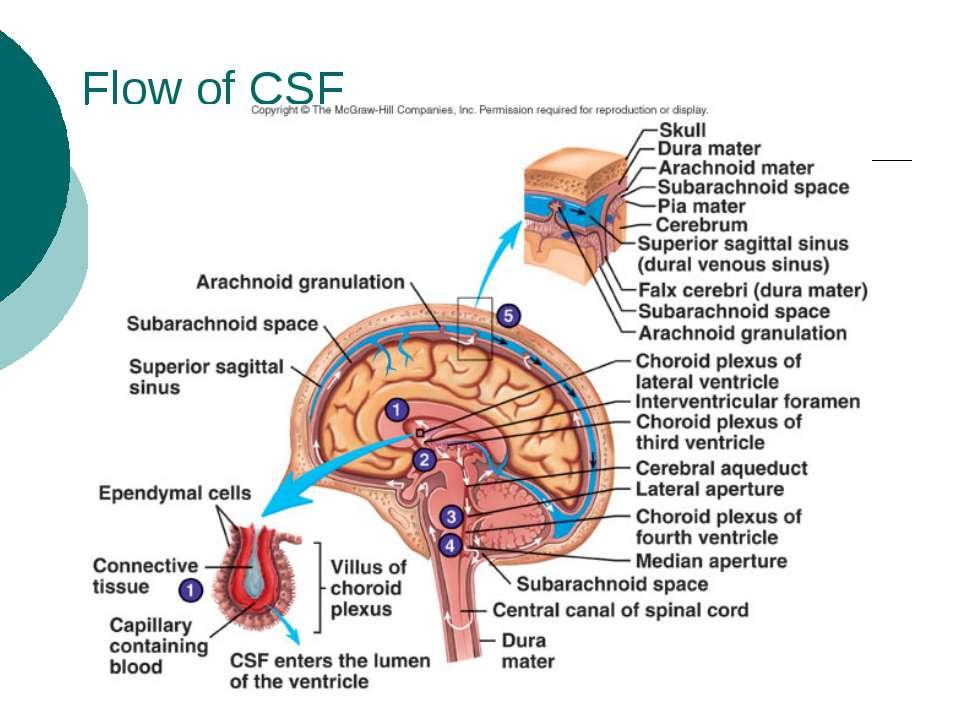 Flow of CSF