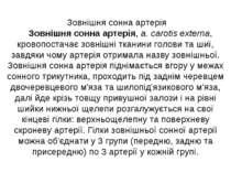 Зовнішня сонна артерія Зовнішня сонна артерія, a. carotis еxterna, кровопоста...