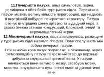 11.Печериста пазуха, sinus cavernosus, парна, розміщена з обох боків турецько...