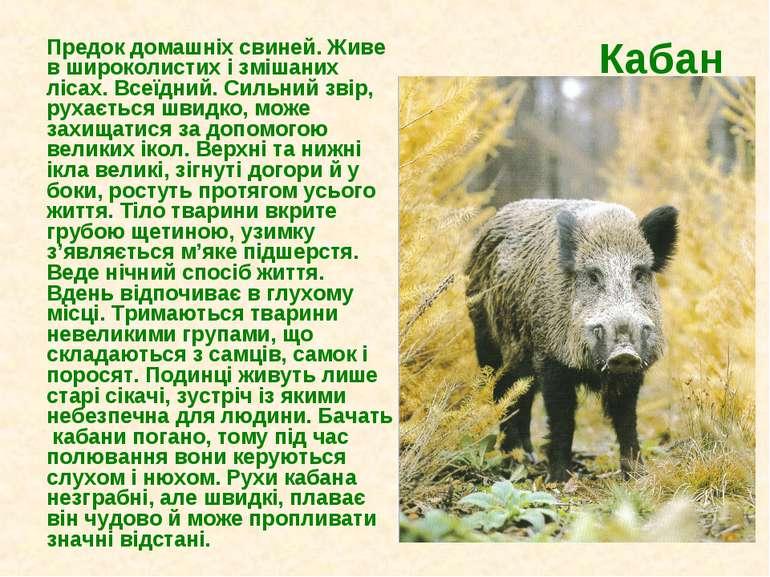 Кабан Предок домашніх свиней. Живе в широколистих і змішаних лісах. Всеїдний....