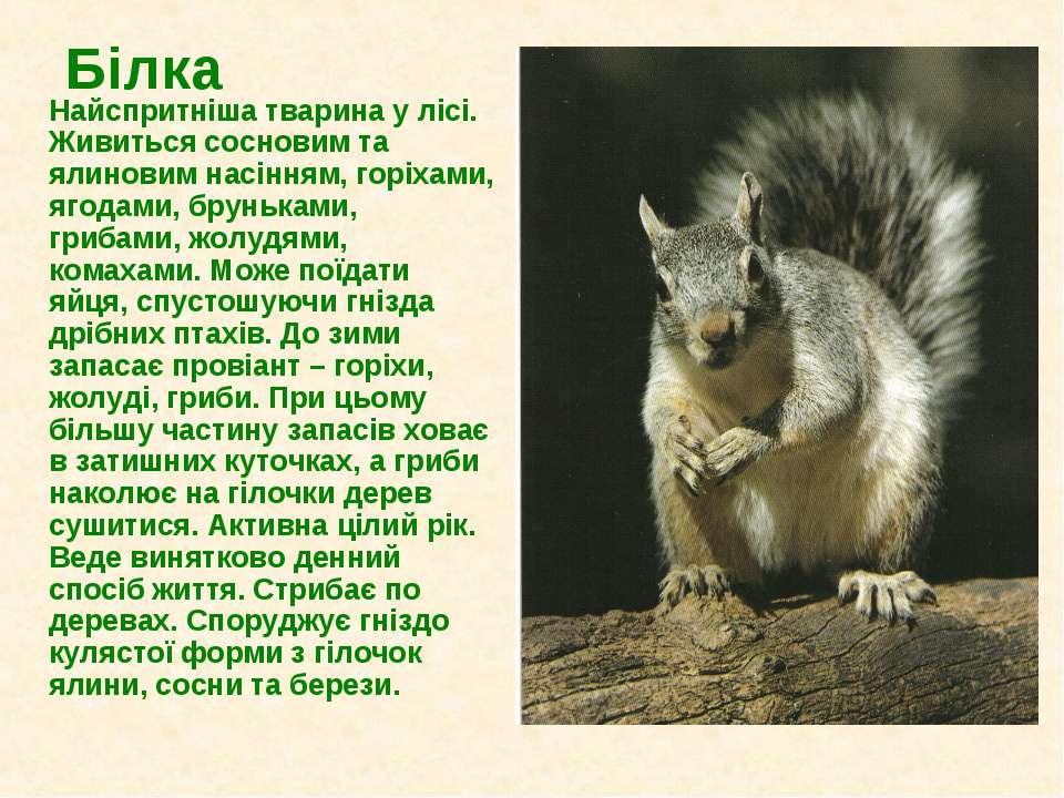 Білка Найспритніша тварина у лісі. Живиться сосновим та ялиновим насінням, го...