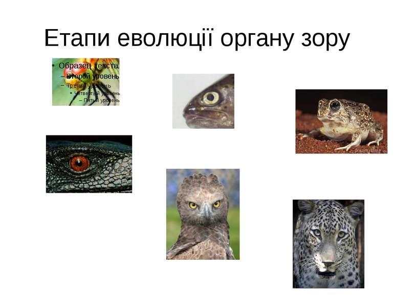 Етапи еволюції органу зору