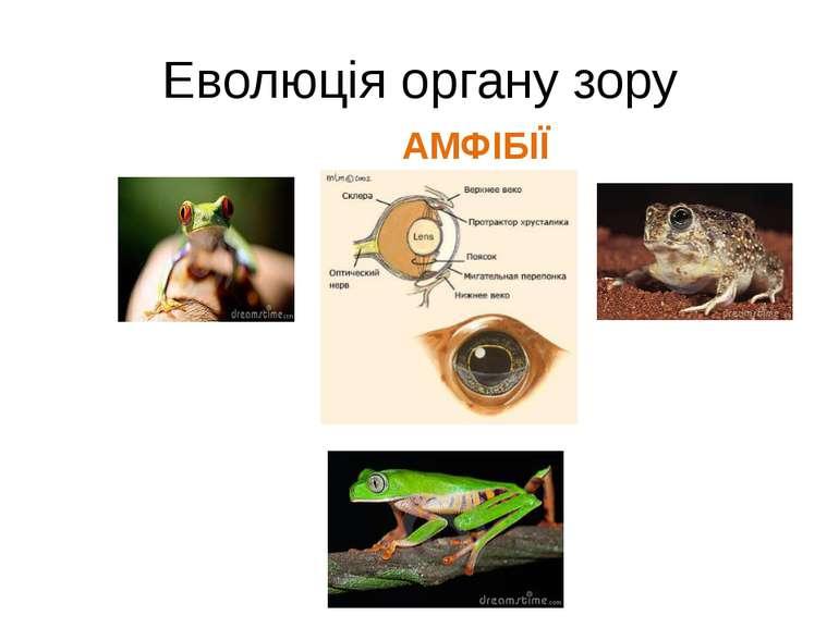 Еволюція органу зору АМФІБІЇ
