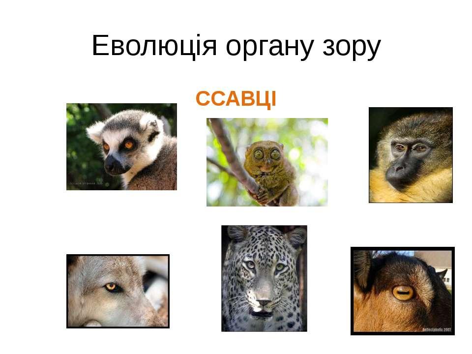 Еволюція органу зору ССАВЦІ