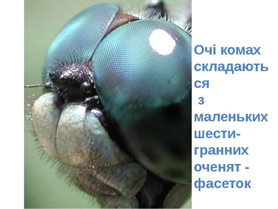 Очі комах складаються з маленьких шести-гранних оченят - фасеток
