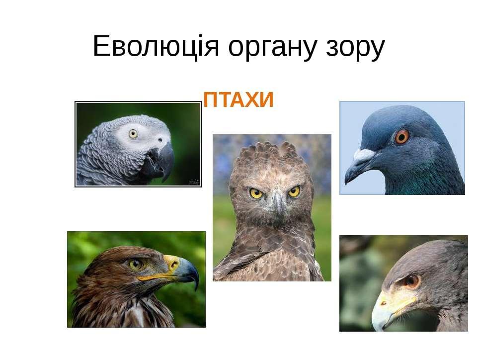 Еволюція органу зору ПТАХИ