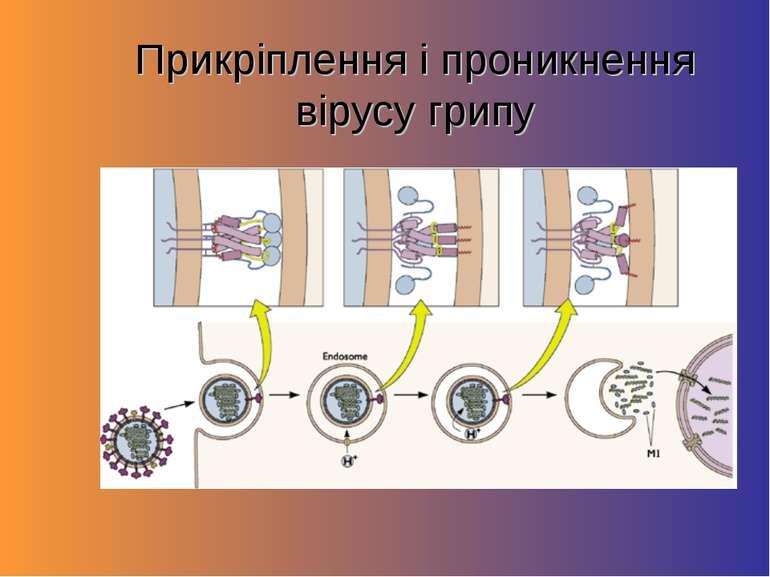 Прикріплення і проникнення вірусу грипу
