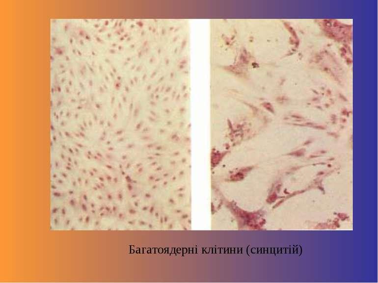 Багатоядерні клітини (синцитій)