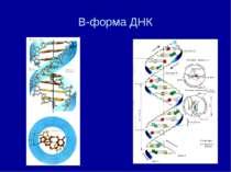 В-форма ДНК