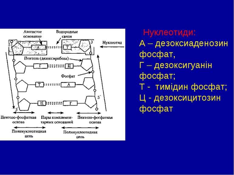 Нуклеотиди: А – дезоксиаденозин фосфат, Г – дезоксигуанін фосфат; Т - тимідин...