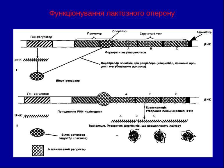 Функціонування лактозного оперону