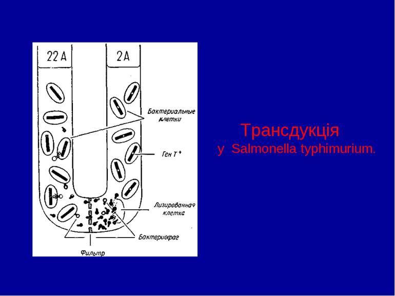 Трансдукція у Salmonella typhimurium.