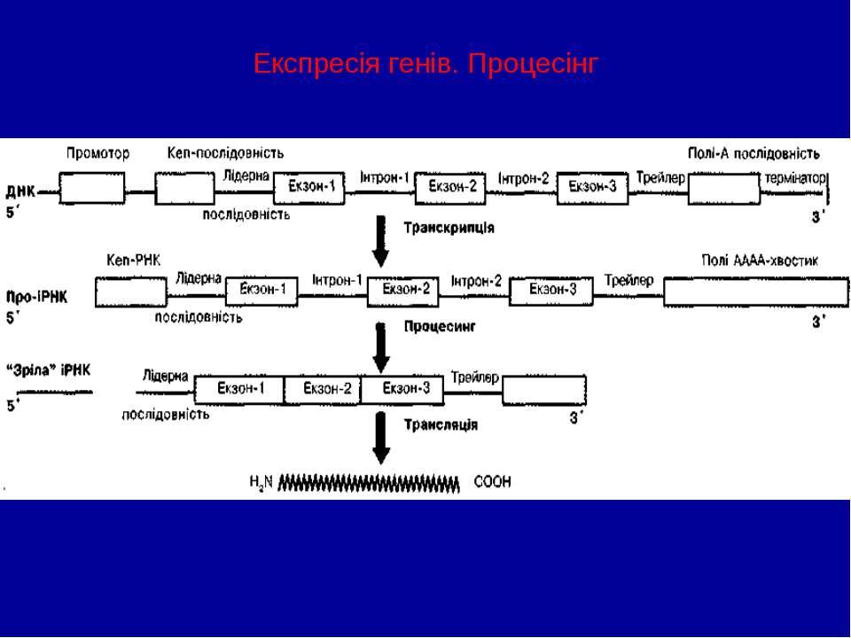 Експресія генів. Процесінг
