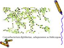 Corynebacterium diphtheriae, забарвлення за Нейссером