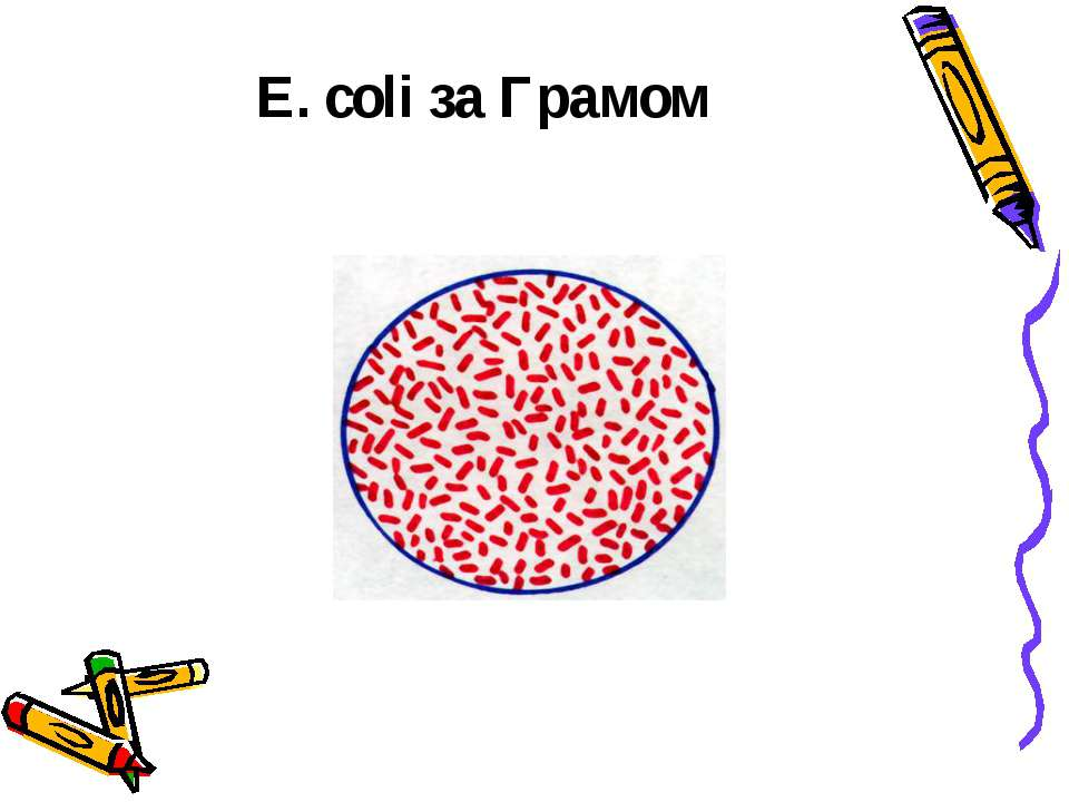 E. сoli за Грамом