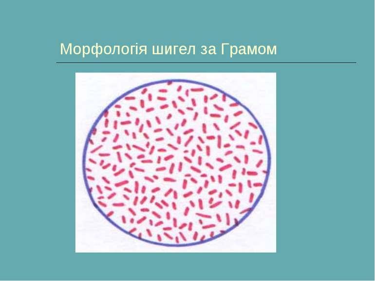 Морфологія шигел за Грамом