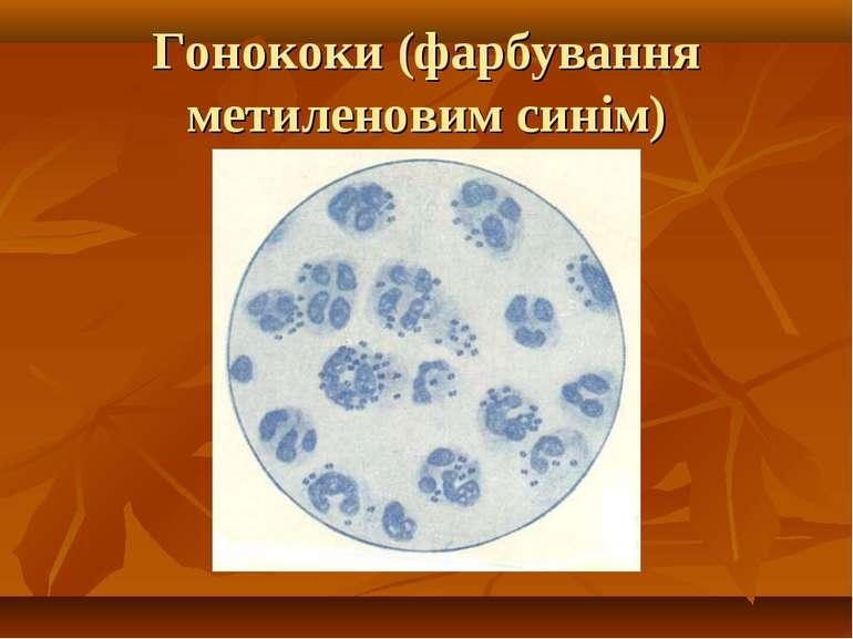 Гонококи (фарбування метиленовим синім)