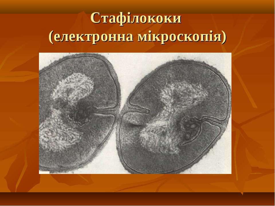 Стафілококи (електронна мікроскопія)