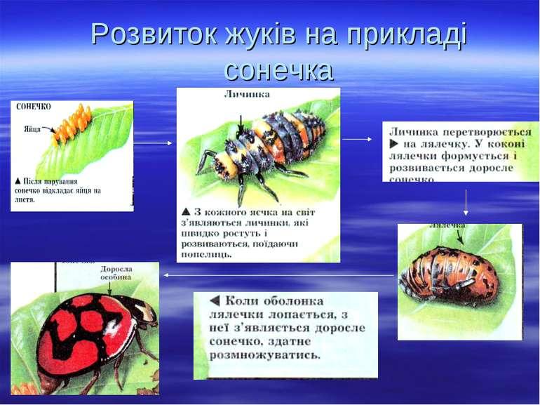 Розвиток жуків на прикладі сонечка