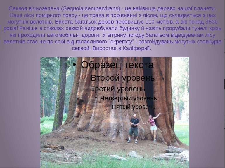 Секвоя вічнозелена (Sequoia sempervirens) - це найвище дерево нашої планети. ...