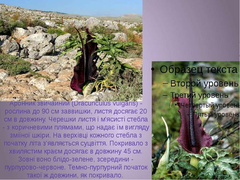 Аронник звичайний (Dracunculus vulgaris) - рослина до 90 см заввишки, листя д...