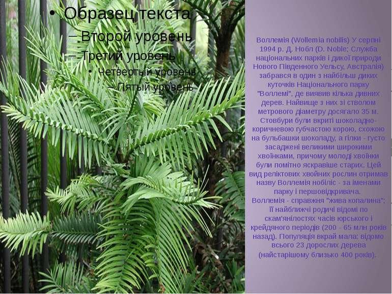 Воллемія (Wollemia nobilis) У серпні 1994 р. Д. Нобл (D. Noble; Служба націон...