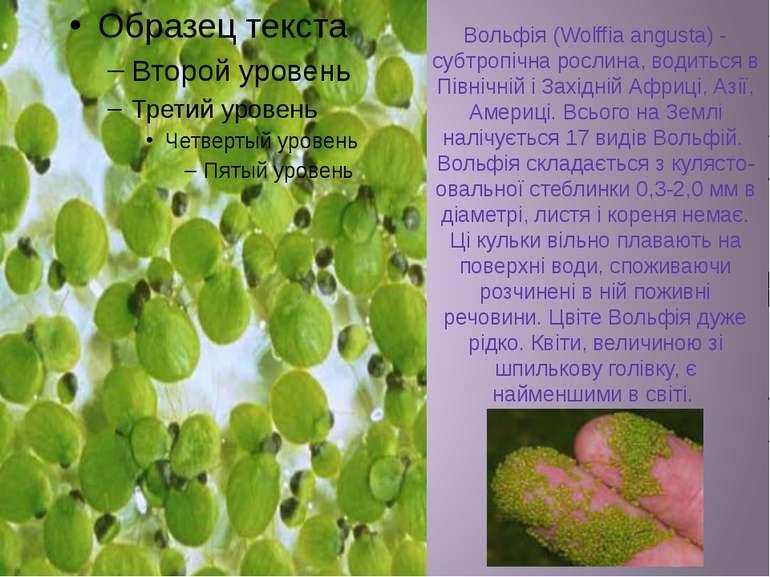 Вольфія (Wolffia angusta) - субтропічна рослина, водиться в Північній і Захід...