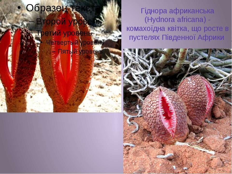 Гіднора африканська (Hydnora africana) - комахоїдна квітка, що росте в пустел...