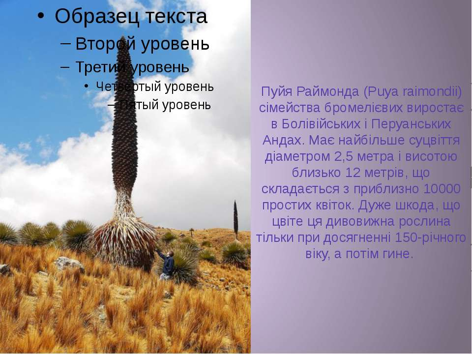 Пуйя Раймонда (Puya raimondii) сімейства бромелієвих виростає в Болівійських ...