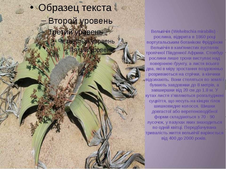 Вельвічія (Welwitschia mirabilis) - рослина, відкрита в 1860 році португальсь...