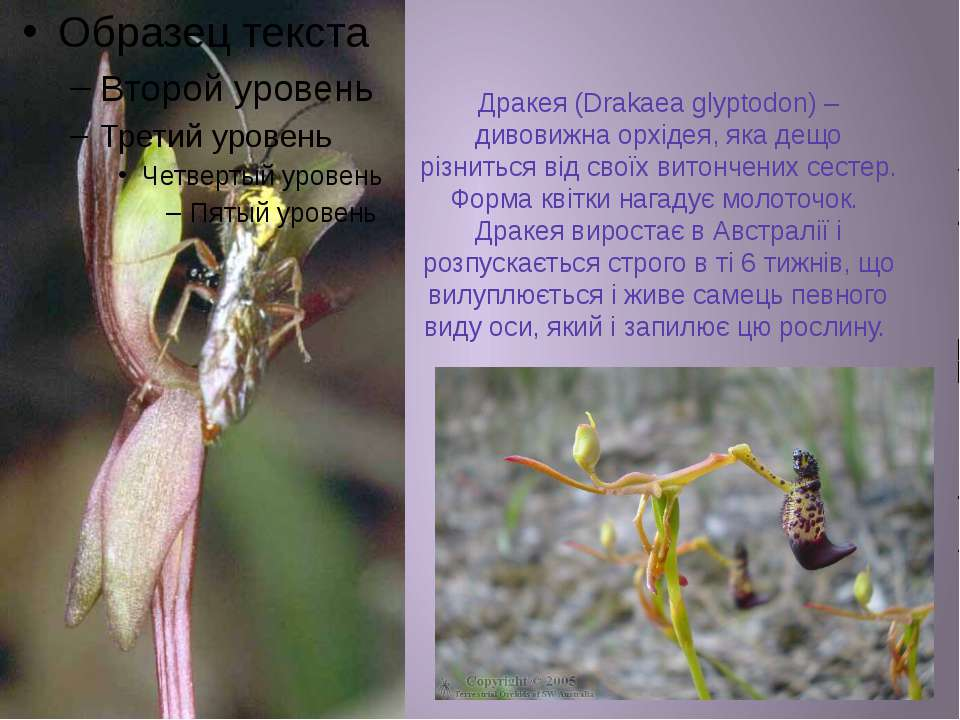 Дракея (Drakaea glyptodon) – дивовижна орхідея, яка дещо різниться від своїх ...