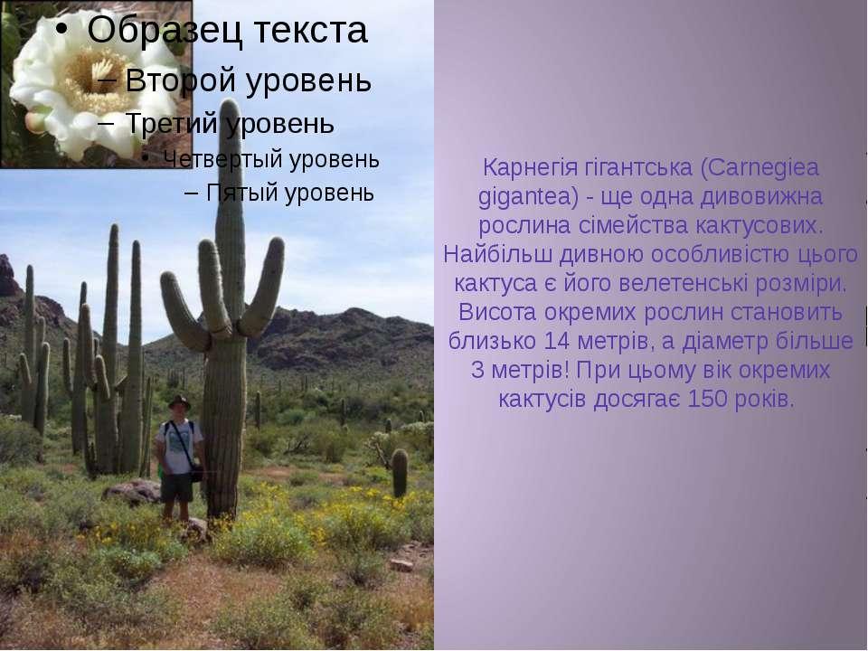 Карнегія гігантська (Carnegiea gigantea) - ще одна дивовижна рослина сімейств...