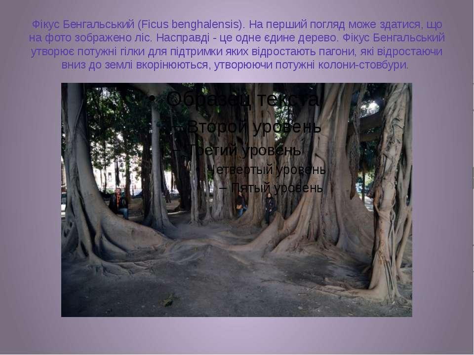 Фікус Бенгальський (Ficus benghalensis). На перший погляд може здатися, що на...