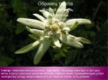 5 місце: Найромантичніша рослина - Едельвейс. Насправді мова йде не про одну ...