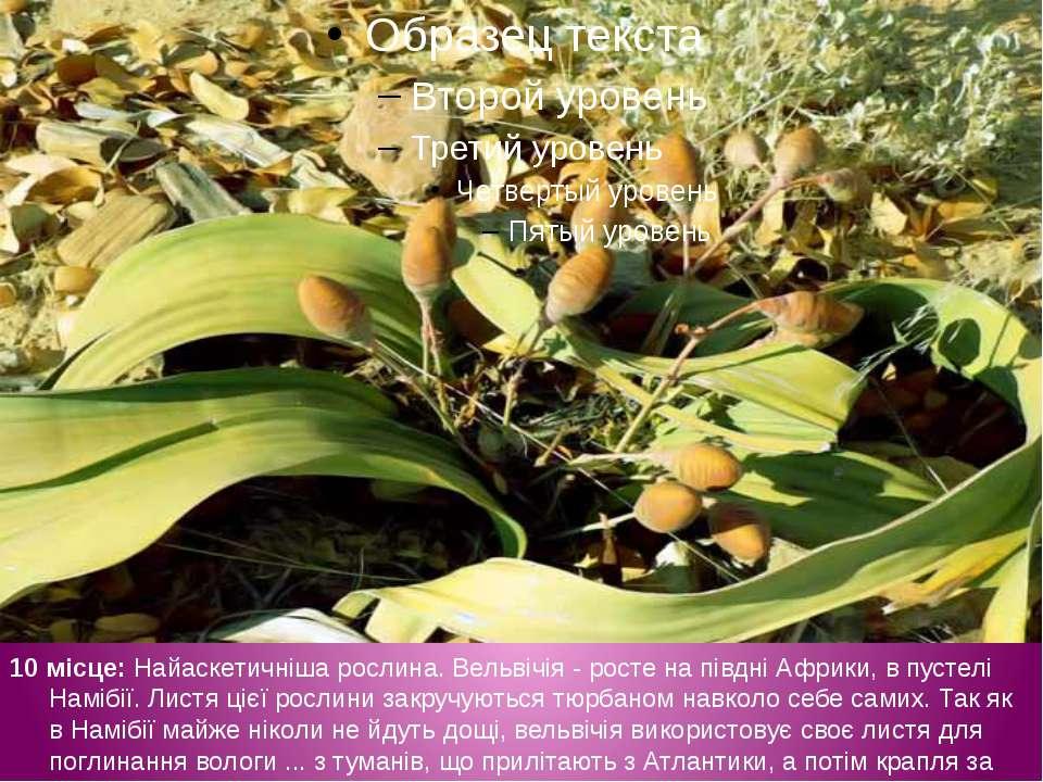 10 місце: Найаскетичніша рослина. Вельвічія - росте на півдні Африки, в пусте...