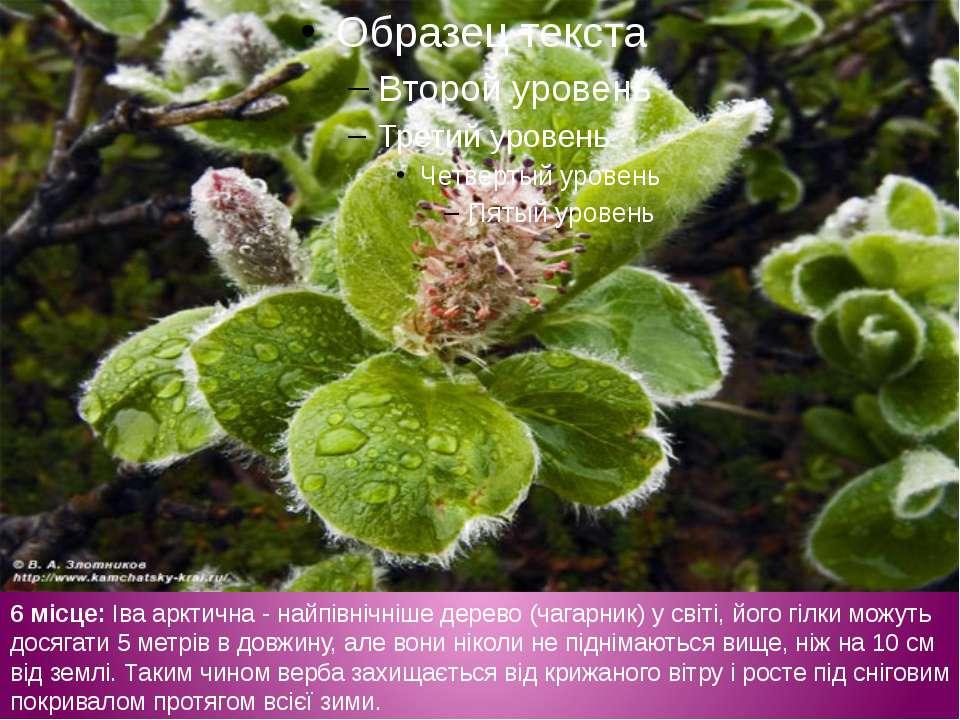 6 місце: Іва арктична - найпівнічніше дерево (чагарник) у світі, його гілки м...