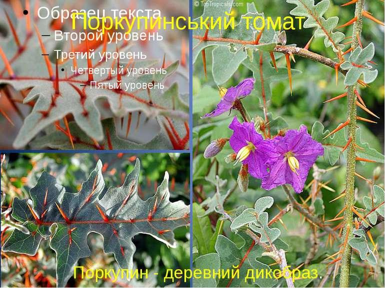 Поркупинський томат Поркупин - деревний дикобраз.