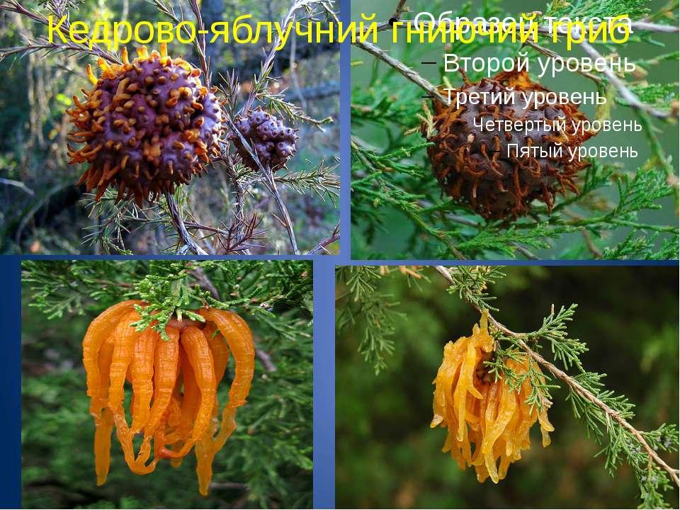 Кедрово-яблучний гниючий гриб