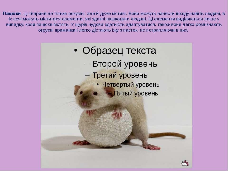 Пацюки. Ці тварини не тільки розумні, але й дуже мстиві. Вони можуть нанести ...