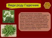 Види роду Гадючник Гадючник в'язолисний часто формує стрічкоподібні зарості з...
