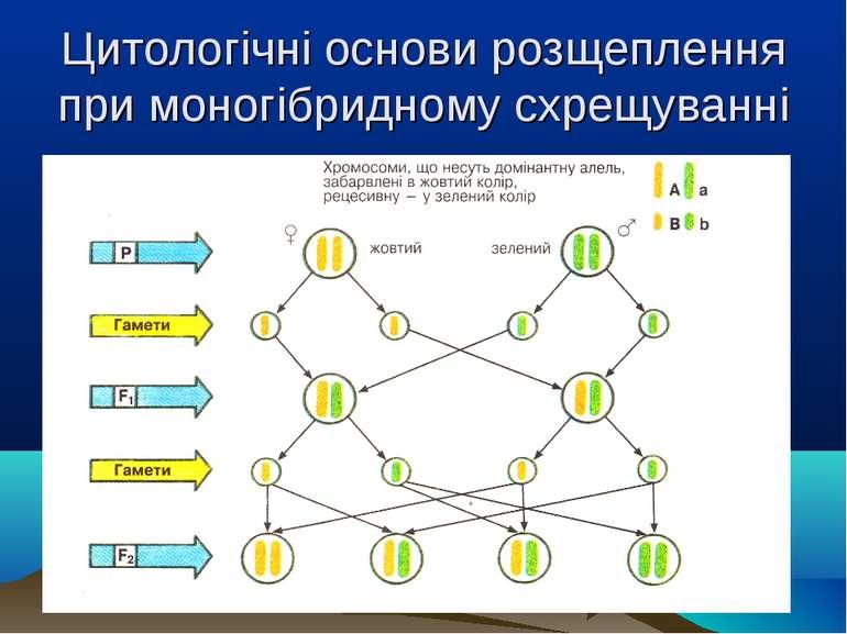 Цитологічні основи розщеплення при моногібридному схрещуванні .