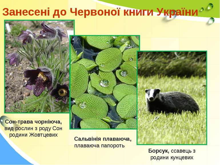 Занесені до Червоної книги України Борсук, ссавець з родини кунцевих Сальвіні...