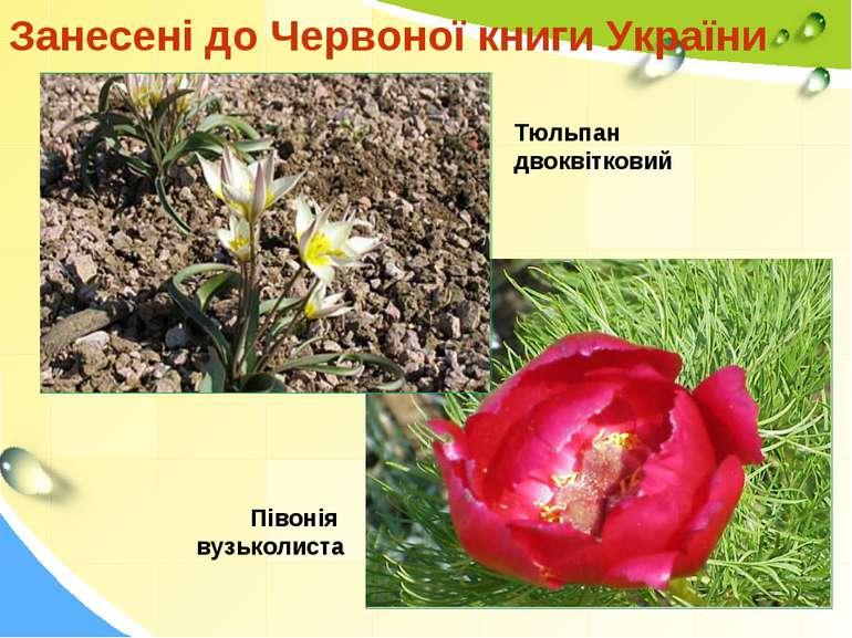 Занесені до Червоної книги України Півонія вузьколиста Тюльпан двоквітковий