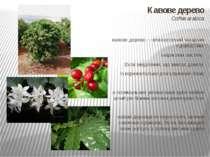Кавове дерево Coffea arabica кавове дерево — вічнозелений чагарник з довгасти...
