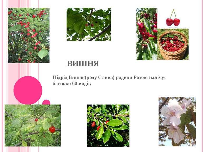 ВИШНЯ Підрід Вишня(роду Слива) родини Розові налічує близько 60 видів