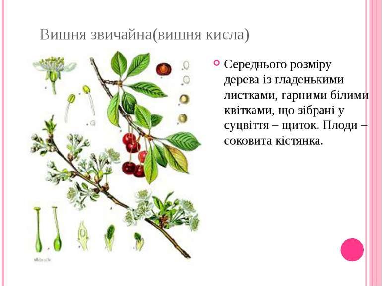 Вишня звичайна(вишня кисла) Середнього розміру дерева із гладенькими листками...