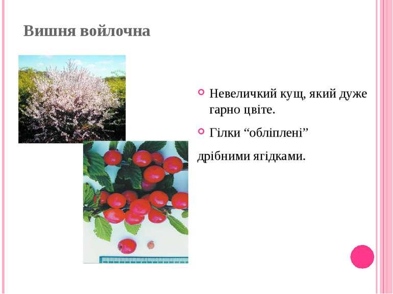 """Вишня войлочна Невеличкий кущ, який дуже гарно цвіте. Гілки """"обліплені"""" дрібн..."""